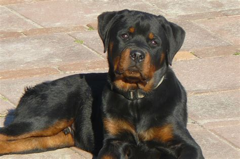 breeds of rottweiler rottweiler breed guide learn about the rottweiler
