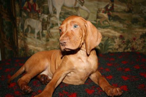 vizsla puppy for sale hungarian vizsla puppy for sale peterborough cambridgeshire pets4homes