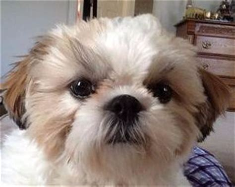 liver color liver colored shih tzu dogs facts and photos