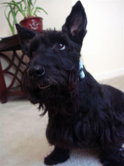 scottish terrier puppies florida puppies scottish terrier puppies scottish terrier puppies scottish breeds picture