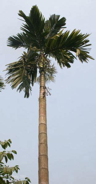 Pohon Pohonan Palm Palem 15cm jenis jenis palem arecaceae di indonesia 2 tumbuhan indah
