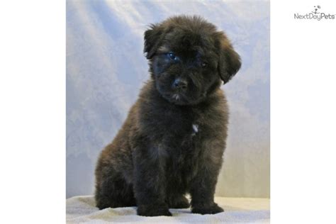 bouvier des flandres puppies bouvier des flandres puppy for sale near southeast missouri missouri e2c32e77 c541