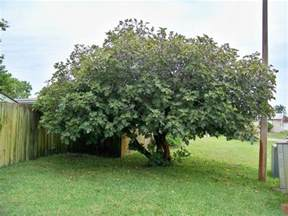 what a 30 year neglected fig tree looks like fig