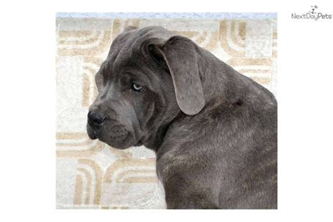 king corso puppies for sale blue corso mastiff puppies for sale breeds picture