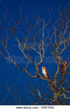 barn owl (tyto alba), owl sitting on camera lens, germany