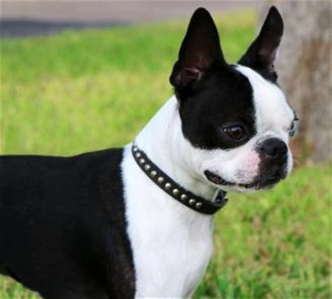 boston terrier puppies maine boston terriers