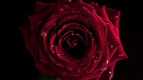 wallpaper 4k rose red rose 4k background picture image