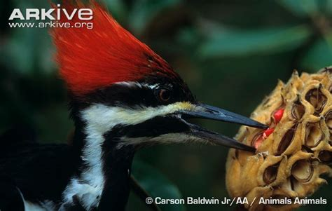 pileated woodpecker photo dryocopus pileatus g137994