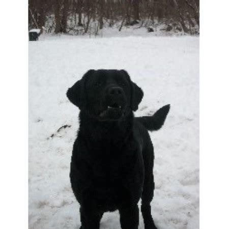 lab puppies rochester ny melmar labradors labrador retriever breeder in rochester new york