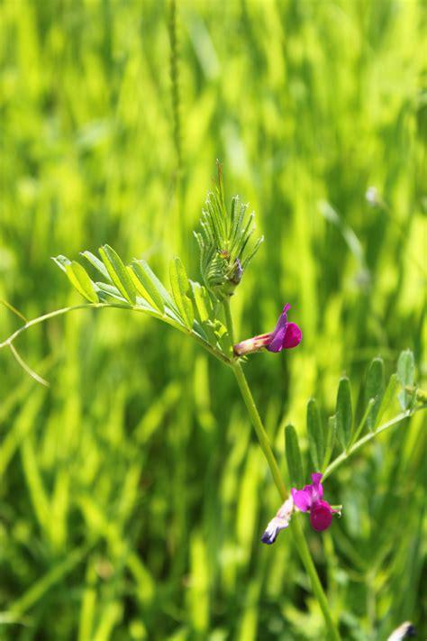 common vetch wildflower seed  wildflower ranges
