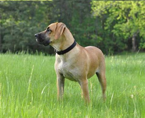 black cur black cur temperament names rescue adoption