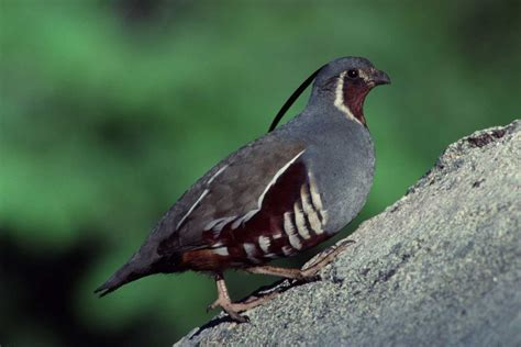 himalayan quail beautiful bird photos hd images