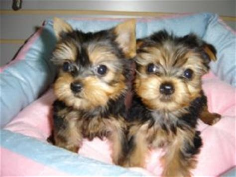 teacup yorkie grown gorgeous top quality teacup yorkies 1 to 2 pounds grown 150