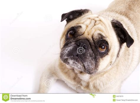 oldest pug pug stock photos image 24272073
