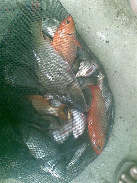 tips membuat umpan ikan mas kolamikan tips dan cara cara membuat umpan jitu memancing