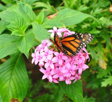 friendly plants butterfly friendly plants missinghenrymitchell
