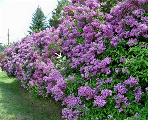 siepi per giardini siepi piante per giardino consigli per la
