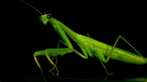 Praying Mantis L by Roses Benefits Of Praying Mantis