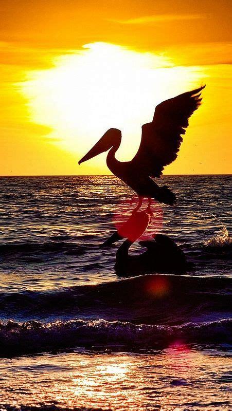 pelicanbirdflyingnightsilhouetteseasunset