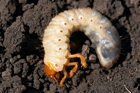 Skuteczne zwalczanie szkodników glebowych