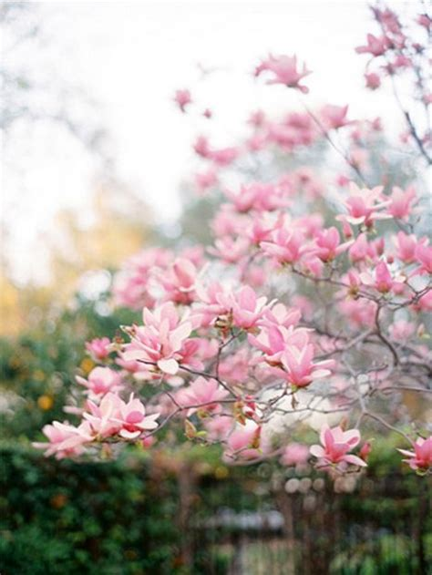 1000 images about magnolia trees on pinterest trees names and shrubs