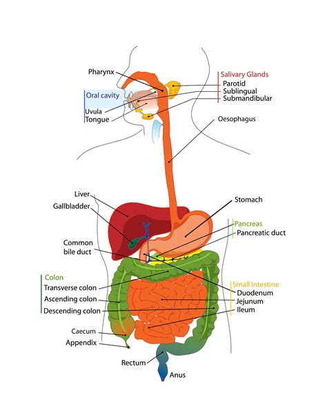intestinal diagram intestinal diagram clipart best