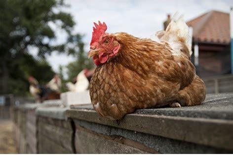 welk keukenafval voor kippen kippen houden voor de heerlijke scharrel eieren