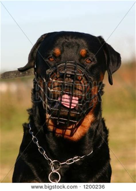 rottweiler dangerous picture or photo of purebred mastiff rottweiler and muzzle dangerous