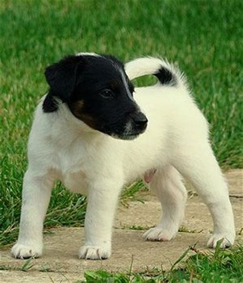 smooth fox terrier puppies smooth fox terrier puppy puppies puppys fox terriers and terrier