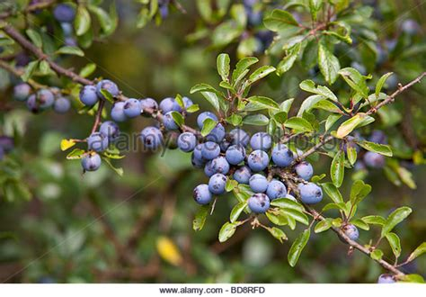 fruit of blackthorn tree blackthorn tree stock photos blackthorn tree stock