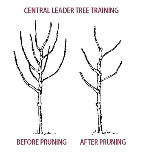When Is The Best Time To Prune Fruit Trees - pruning pear trees stark bro s