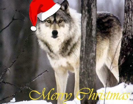wolves christmas photos and christmas on pinterest