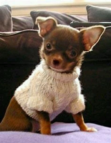knitting pattern for chihuahua jumper mini chihuahua the sweater dogs