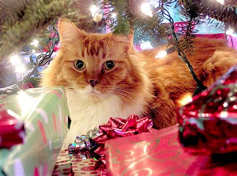 are christmas trees poisonous to cats are trees poisonous to cats cards