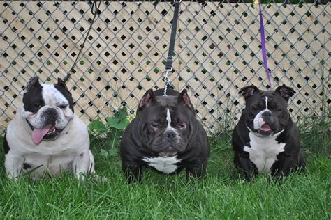 micro bully puppies for sale bullies for sale toadline bullies bully kennel micro bullies
