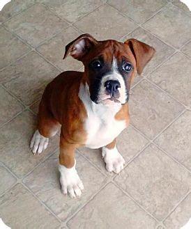 cincinnati adoption cincinnati oh boxer mix meet foreman a puppy for adoption