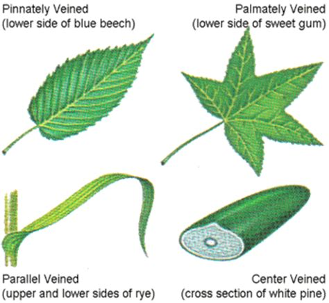 vein pattern meaning the parts of a leaf hizam e blog s