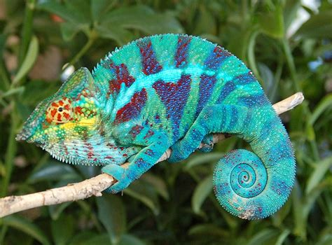 pin panther chameleon care image search results on pinterest