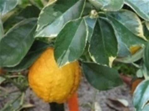 come curare il limone in vaso come curare la pianta di limoni domande e risposte orto