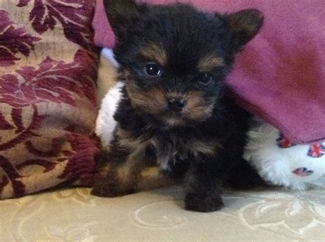 x yorkie teacup chorkie www imgkid the image kid has it
