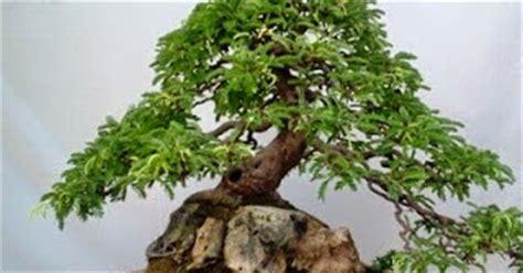 Bakalan Bonsai Asam cara membuat bonsai asem jawa petani top