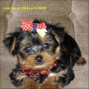 free yorkie puppies in arkansas 2 baby yorkie puppies for free adoption fort smith ar asnclassifieds