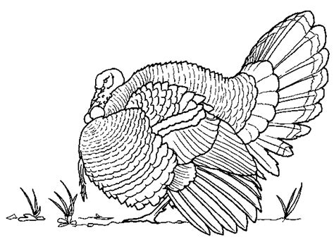 coloring page wild turkey deep wild turkey coloring page