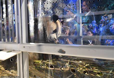 the panda haus 187 thepandahaus com 187 daily dudes super giant pandas arrive in holland daily mail online