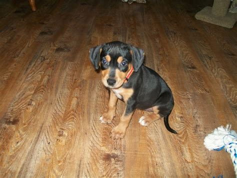 doberman pug mix puppies boston terrier american pit bull terrier mix for adoption in memes