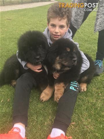 purebred tibetan mastiff pups for sale in adelaide sa