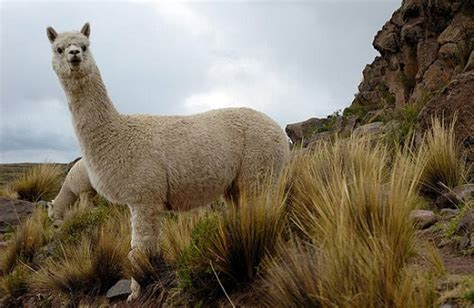 alpaca vicugna pacos facts  animals