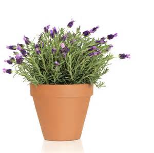 Pot Plant Containers Potted Lavender Care How To Grow Lavender In Containers