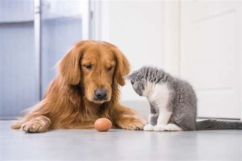 are dogs smarter than cats are dogs smarter than cats new research points to yes couture country