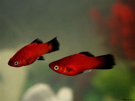 google images fish platy fish google search love platy fish pinterest